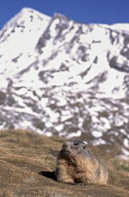 Murmeltier vor schneebedecktem Gipfel