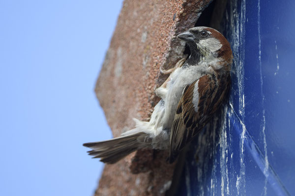 Haussperling (Passer domesticus), Männchen am Nest