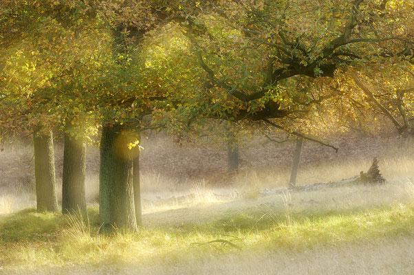 Eichen im Herbst (D)