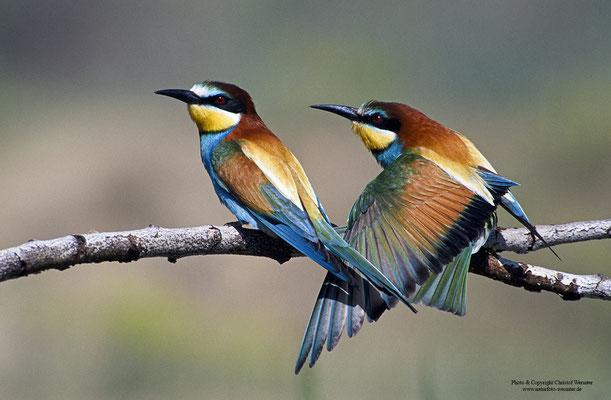Bienenfresser (Merops apiaster), Paar