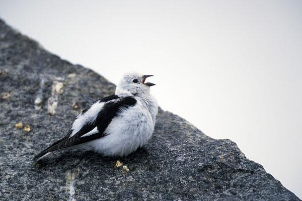 Schneeammer (Plectrophenax nivalis), Männchen