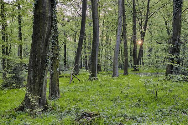 Buchenwald im Frühling
