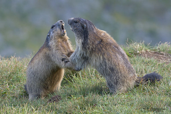 Streitende Murmeltiere