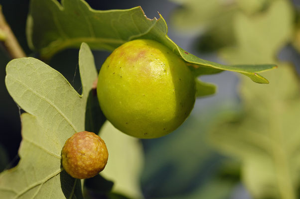 Gemeine Eichengallwespe (Cynips quercusfolii)