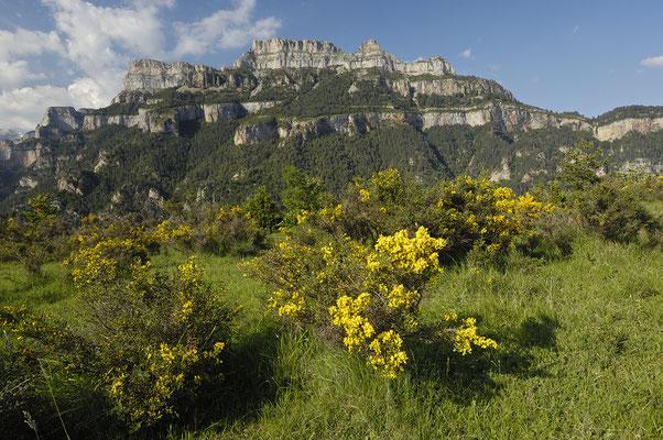 Blühender Ginster und Bergkette, Ordesatal (E)