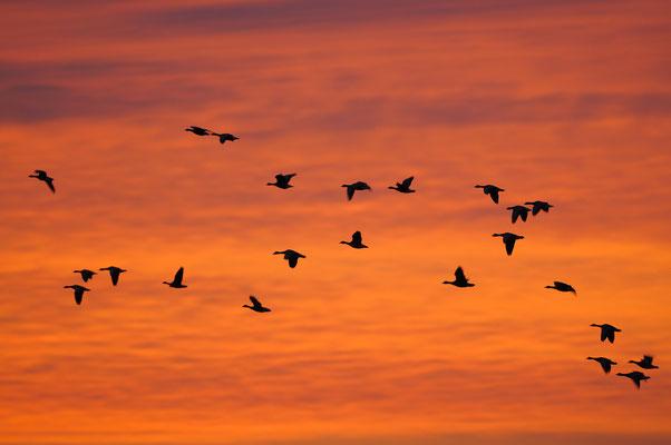 Blässgans (Anser albifrons), bei Sonnenaufgang
