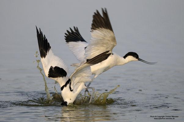 Säbelschnäbler (Recurvirostra avosetta), Revierkampf