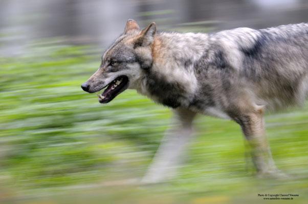 Wolf (Canis lupus) (c)