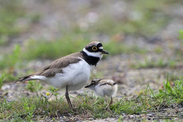 Flussregenpfeifer (Charadrius dubius) hudert Jungvogel