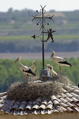 Storchennester auf einem Kirchendach (E)