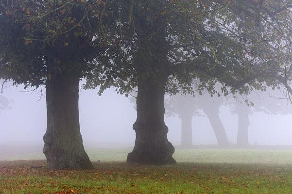 Linden im Nebel (D)