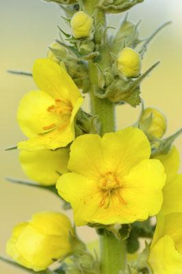 Grossblütige Königskerze (Verbascum densiflorum)