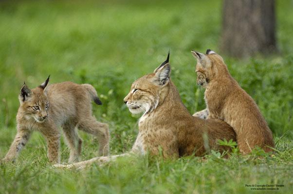 Luchs ( Lynx lynx) Familie (c)
