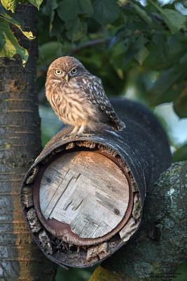 Steinkauz (Athene noctua), Jungvogel