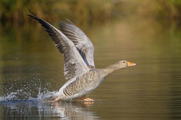 Graugans (Anser anser), startender Altvogel