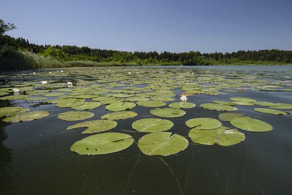 Seerosen auf dem Hartsee