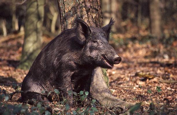 Wildschwein kratzt sich an einem Baum (c)