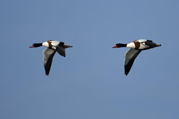 Brandgans (Tadorna tadorna), Paar im Flug