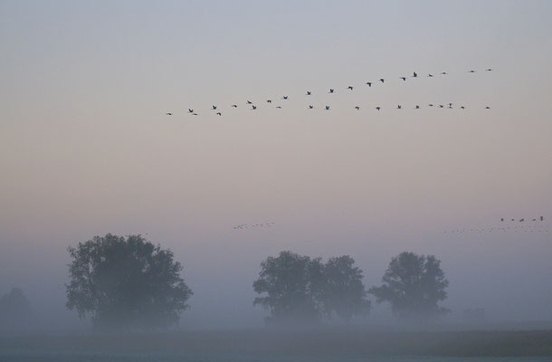 Kranichketten am Morgenhimmel, Günzer See (D)
