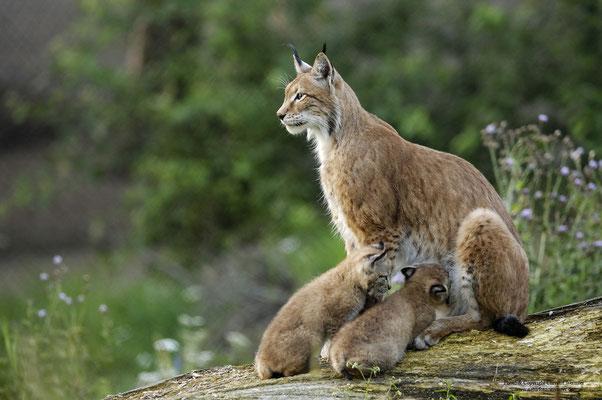 Luchs ( Lynx lynx), säugendes Weibchen (c)