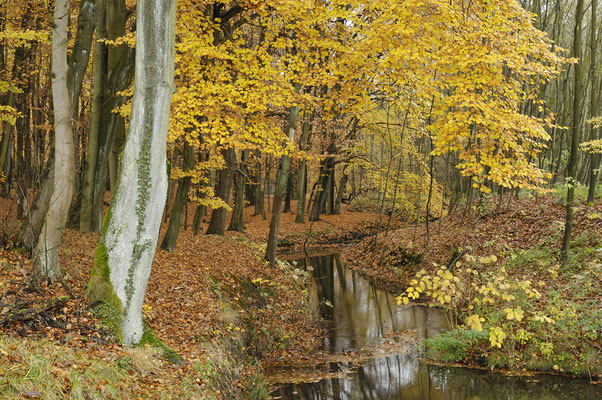 Bachlauf im Herbstwald (D)