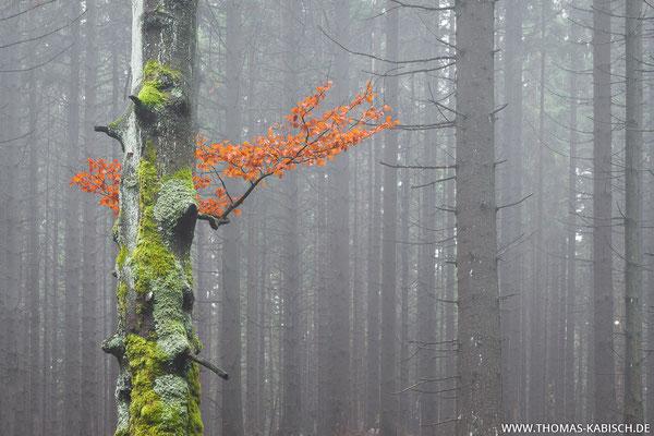 Alte Buche - Harz