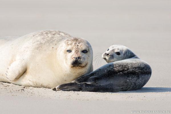 Seehunde - Helgoland