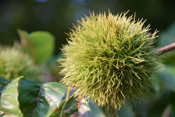 十文字平和教会の周辺には栗の木があります。これは教会の栗の木ではありませんが、こんな風に、秋が近づいてきています。