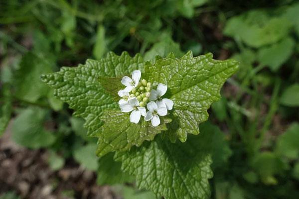 Menthe à fleurs blanches