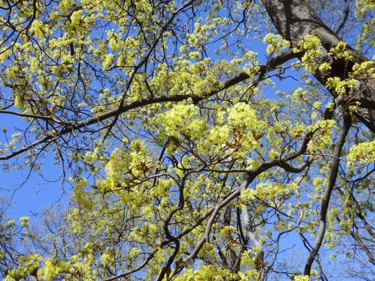 Baum im Basteikalns-Park