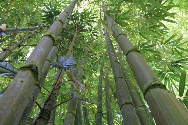 Die Bambushalme werden bis zu 10 Meter hoch