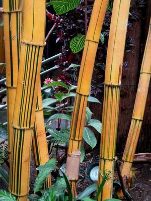Es gibt ca. 1100 verschiedene Bambusarten