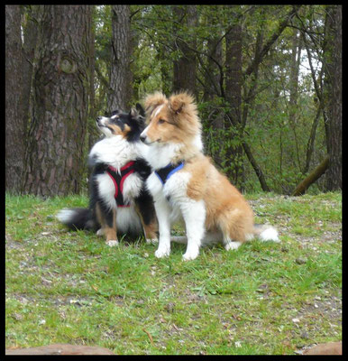 Shelties of Magic Symphony