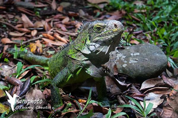 Iguane - Guadeloupe - Karuphoto
