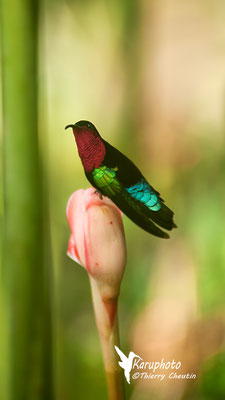 Colibri - Karuphoto