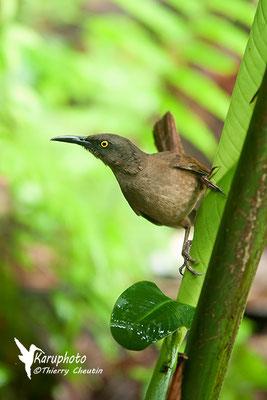 Oiseau Trembleur - Karuphoto