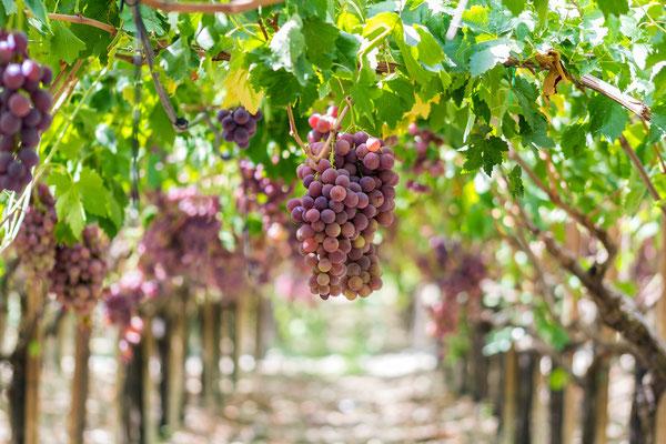 Sicily - European Best Destinations - Vineyards of Sicily Copyright Aurelio Wieser