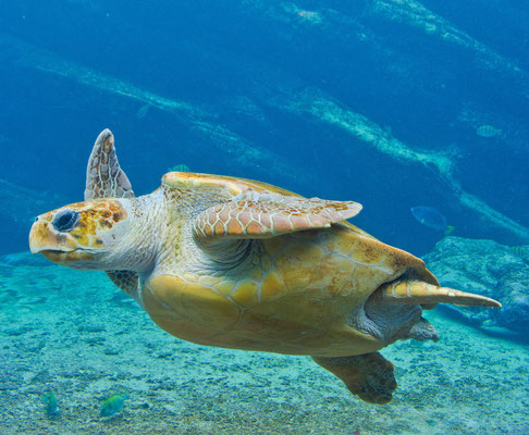 Tenerife - European Best Destinations - Sea turtle in Tenerife Copyright Jan-Nor Photography