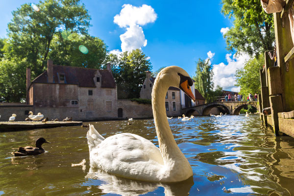 Bruges - European Best Destinations - Swan in a canal of Bruges - Copyright S-F