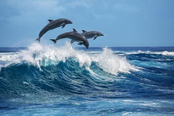 Tahiti Dolphins copyright  Willyam Bradberry