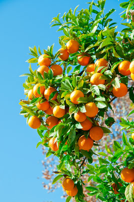 Seville - European Best Destinations - Tangerine tree  in Sevilla Copyright Alexander Demyanenko