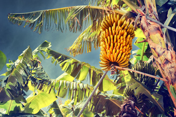 Bunch of ripe bananas on tree. Agricultural plantation at Madeira island Copyright  symbiot