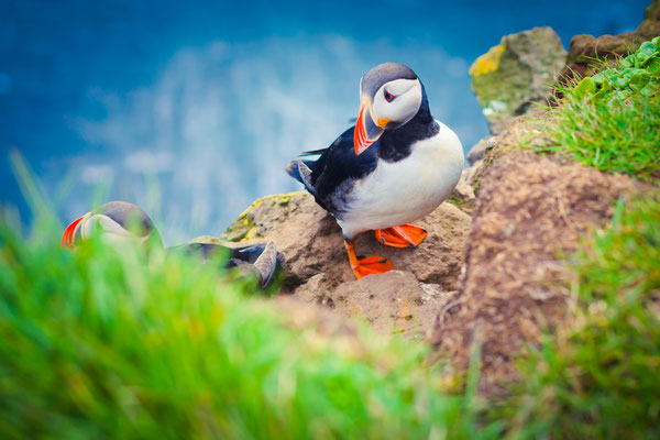 Atlantic Puffin In Iceland Copyright Tsuguliev