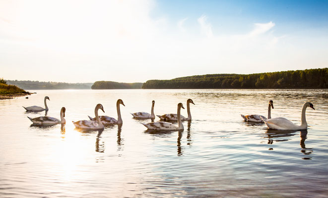 The family of swans floats on the Danube River in Novi Sad, Serbia. Copyright Aleksandar Todorovic