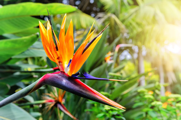 Strelitzia Reginae flower (bird of paradise flower), Madeira Islands, Portugal Ⓒ symbiot