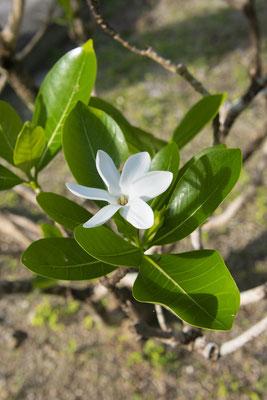 Tahiti Flower copyright   Teriitua Maoni