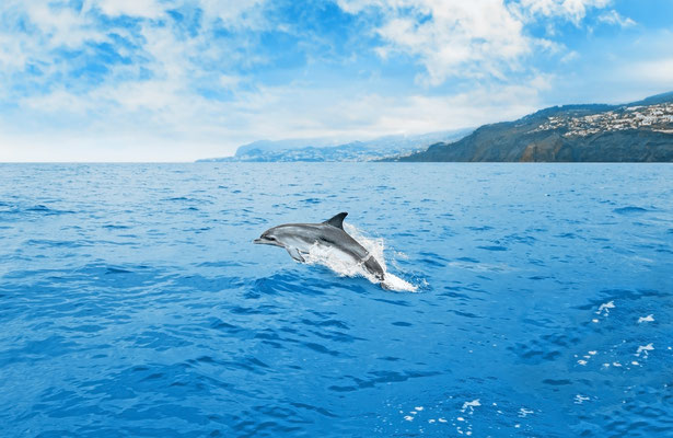 Dolphin watching in Madeira - Copyright aldorado