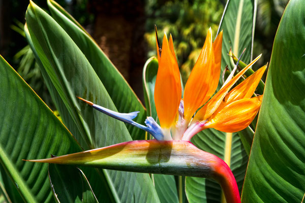 Tenerife - European Best Destinations - Bird Paradise Flower in Tenerife - Copyright Olena Tur