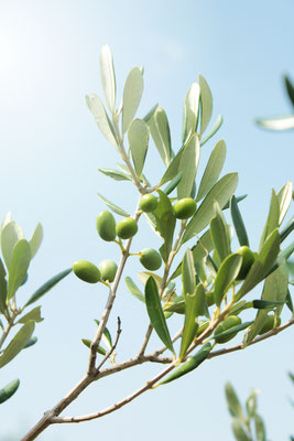 Corfu - European Best Destinations - Olive tree in Corfu Copyright Anastasia Panfilova