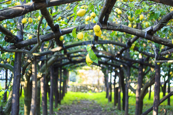 Lemon orchard in the south of Italy - Copyright Rrrainbow